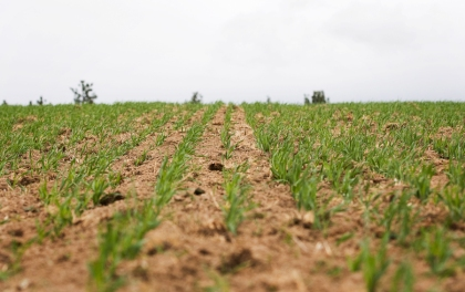 Barley Shoots 3 web