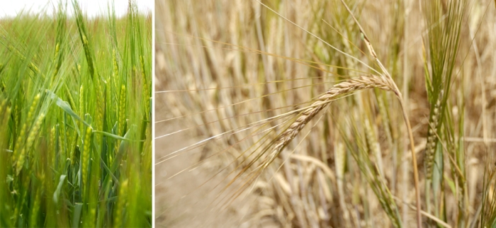 Barley Side By Side