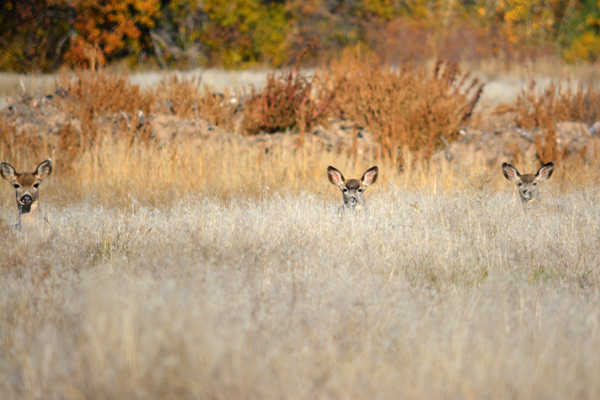 Deer and Elk come down this time of year from higher elevations to play and forage in the fields.