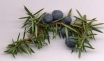 Juniper Berries Thumbnail