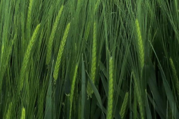 Risk Barley Heads