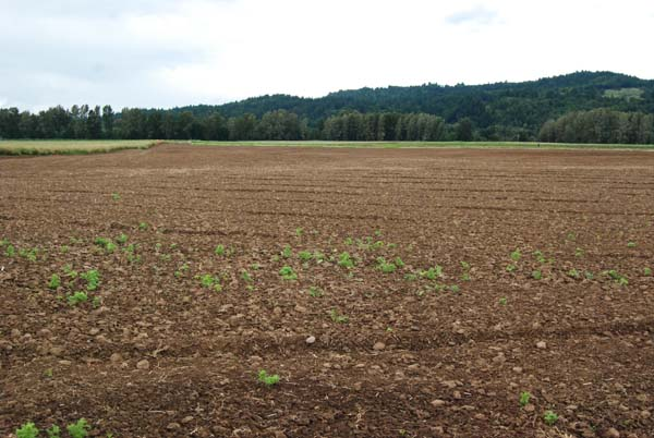 The five acre field of Sweet Corn at Rogue Farms in Independence, Oregon.