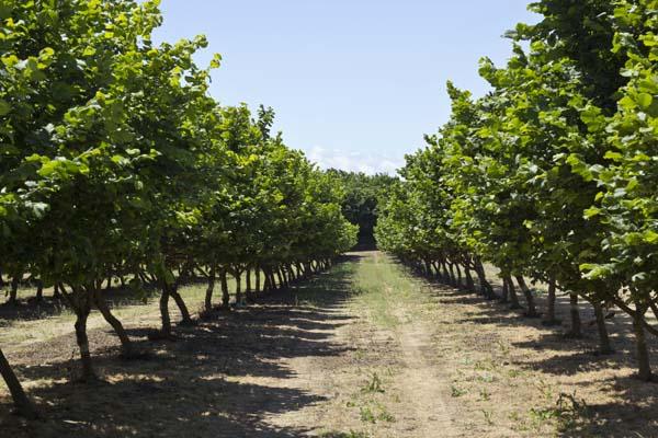 Hazelnut Orchard 2