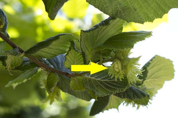 The arrow points to a small, green hazelnut.