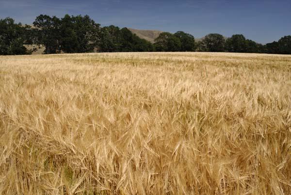 Dare Barley Field