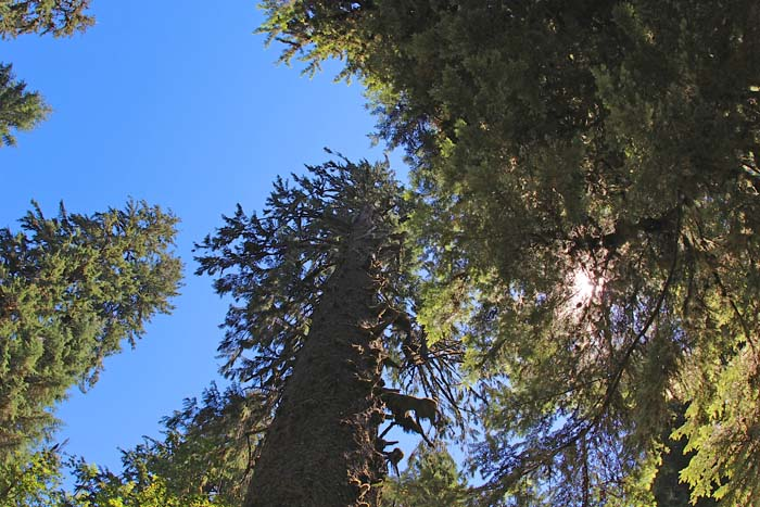 Sitka Spruce can grow up to 200 feet tall and live up to 800 years.