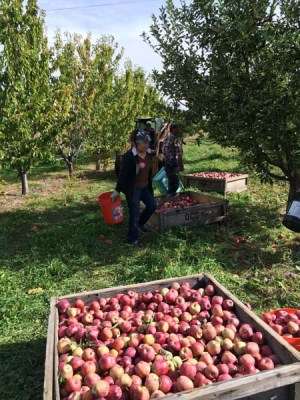 The apple harvest at Rogue Farms in Tygh Valley.