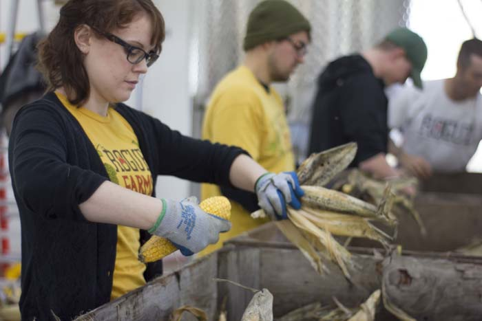 Hand shucking our Wigrich Corn at the Farmstead Malt House.