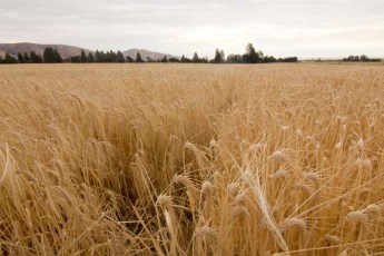 The birthplace of Oregon Single Malt Whiskey, the fields of Rogue Farms Risk malting barley.