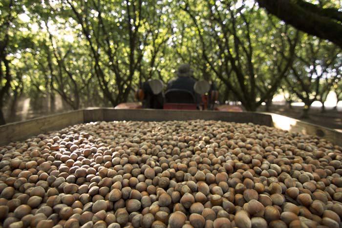 Hazelnut Harvest_100114_035