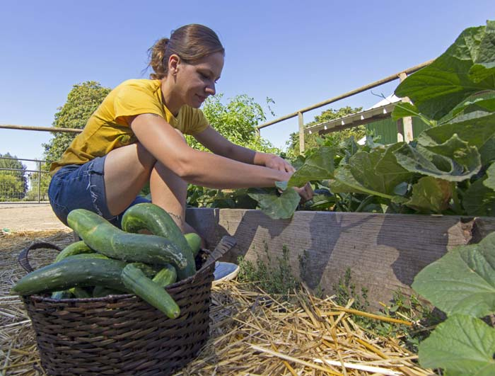 Picking Cucumbers