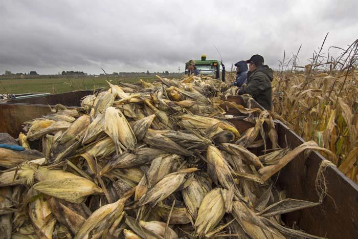 Corn Picking_110314_016