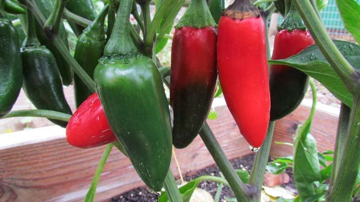 The color of jalapenos as the ripen from green to red.