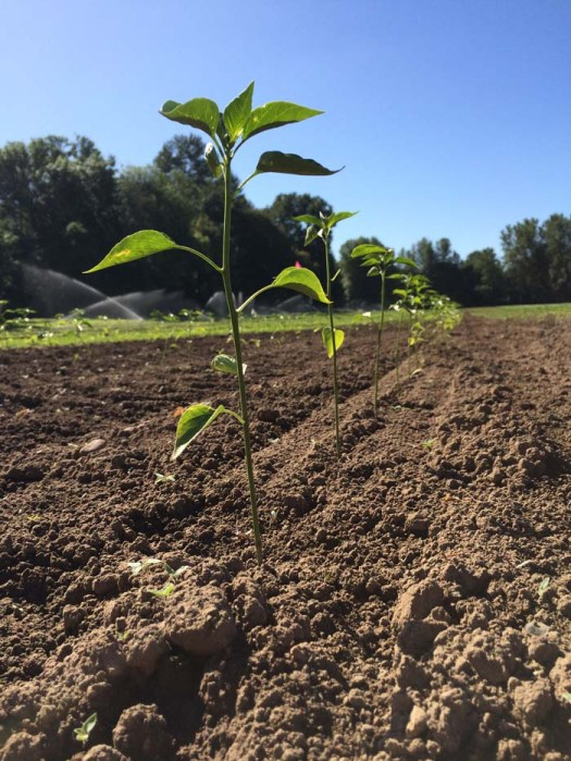 Newly planted jalapeno starters at Rogue Farms in Independence, Oregon.