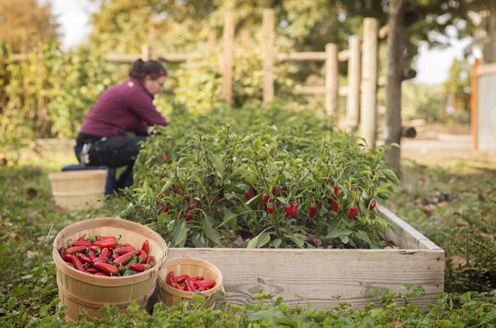Jalapeños don't ripen at the same time. We pick our peppers by hand so that we get only the red ones.