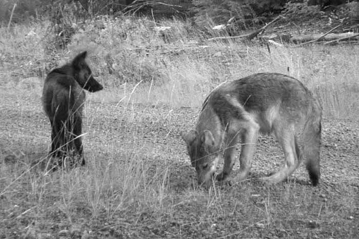 Rogue Wolf Pups