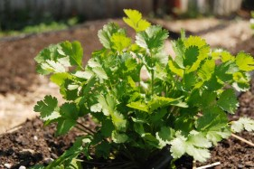 Coriander. We harvest the seeds. The leaves are known as cilantro.