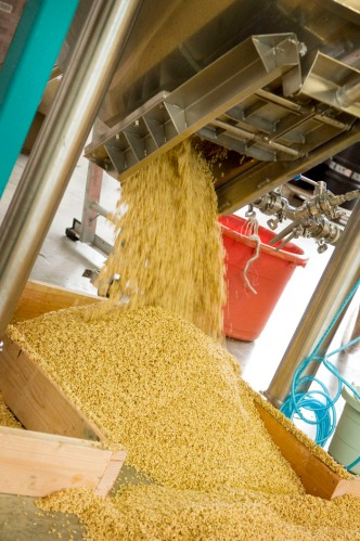 Steeped barley as it comes out of the tank. We just pull a lever and let it pour.