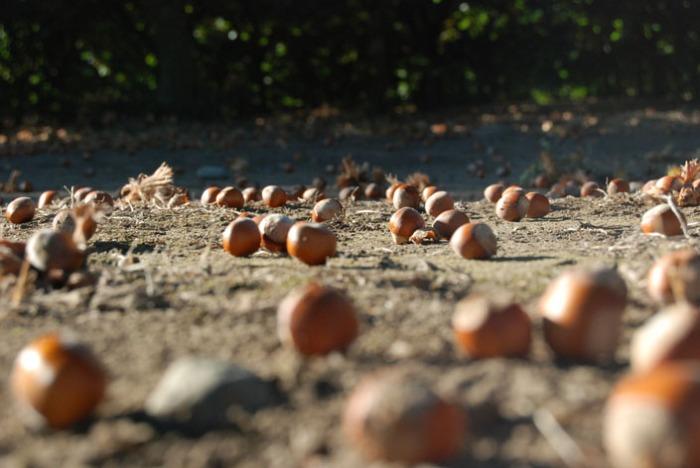Hazelnuts Sept 2014 DSC_0020