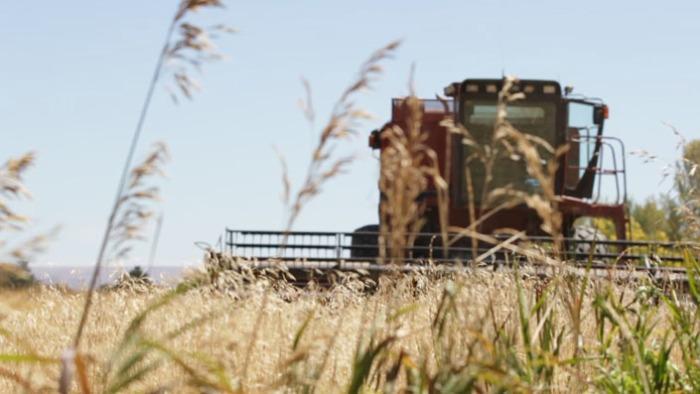 Barley-Harvest-Spring-Barley-23