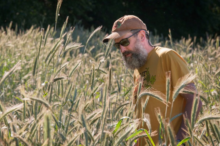 Brewmaster John Maier inspects a crop of Dream Rye at Rogue Farms in Independence.